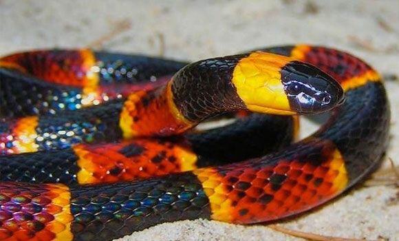 coral snake - Praying for Eyebrowz
