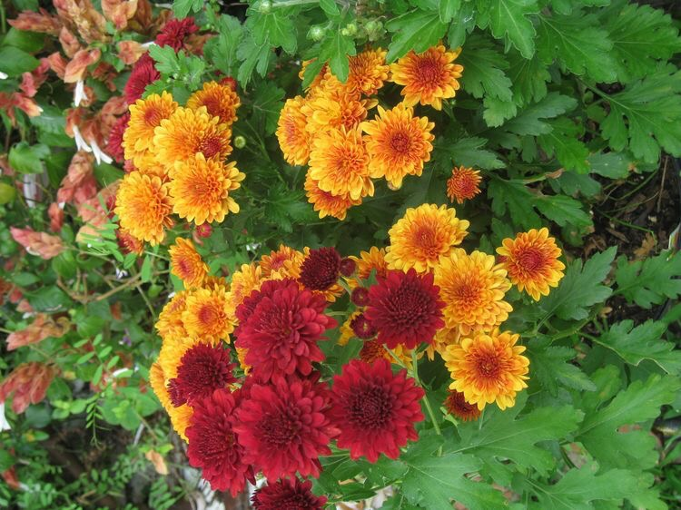 "john steinbeck - the chrysanthemums essay John steinbeck's ""the chrysanthemums"" is a story of one woman's insecurities because of her age and her need to feel beautiful and worthy."