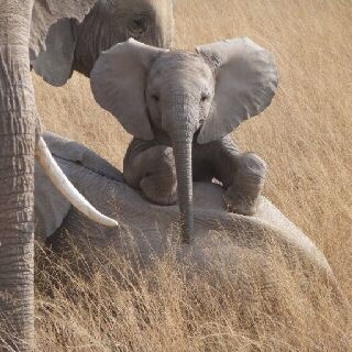 I'm Dreaming of a Baby Elephant